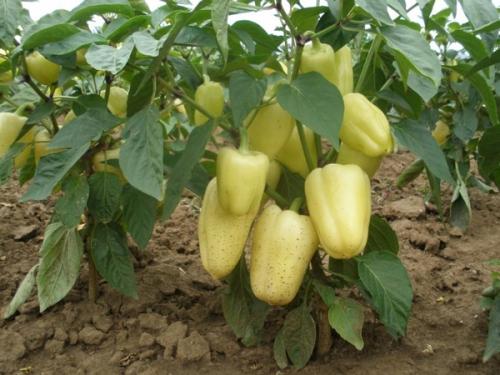Светло-зеленый болгарский перец