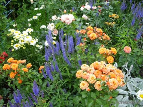 Цветки вероники в открытом грунте