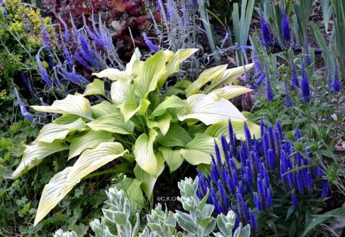 Цветки вероники в саду