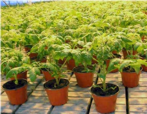 Рассада помидор для открытого грунта