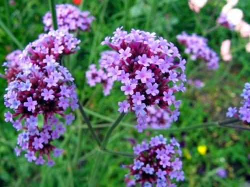 Фиолетовые цветки вербены