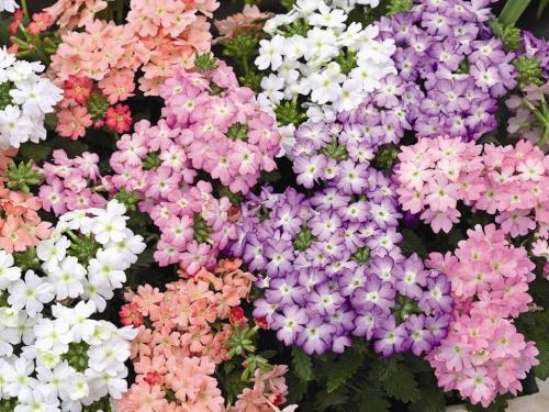 Белые, оранжевые и розовые цветки вербены