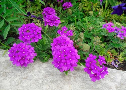 Ярко-фиолетовые цветки вербены