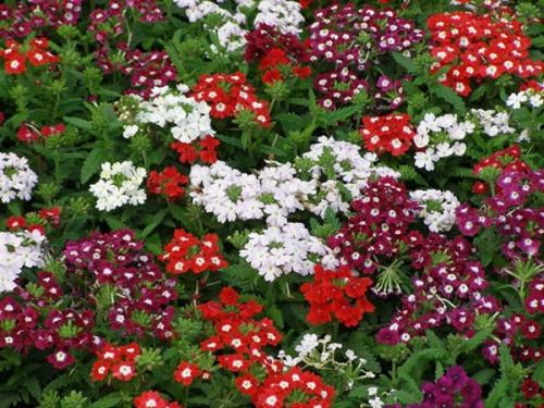Белые, красные и бордовые цветки вербены