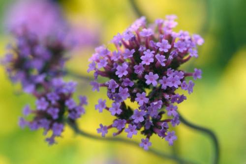 Сиреневые цветки вербены