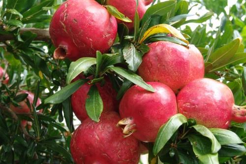 Плоды граната на ветках
