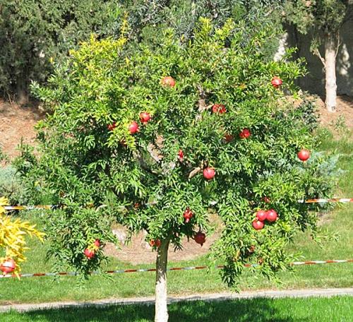 Гранатовое дерево с плодами