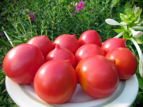 Урожай сладких помидоров