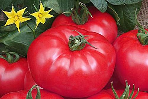 Сладкие помидоры, выращенные в открытом грунте