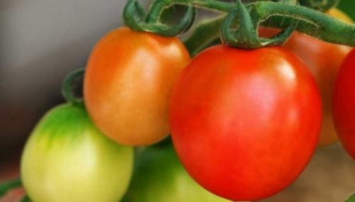 Сладкие созревающие помидоры