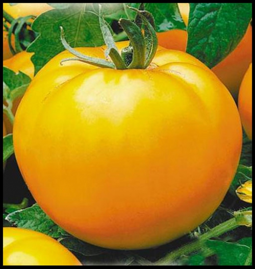 Крупный желтый помидор