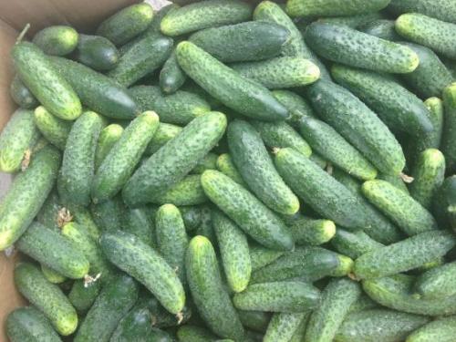 Урожай огурцов, выращенных в открытом грунте