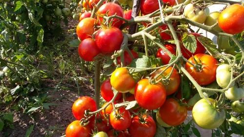 Красные  и зеленые помидоры в открытом грунте