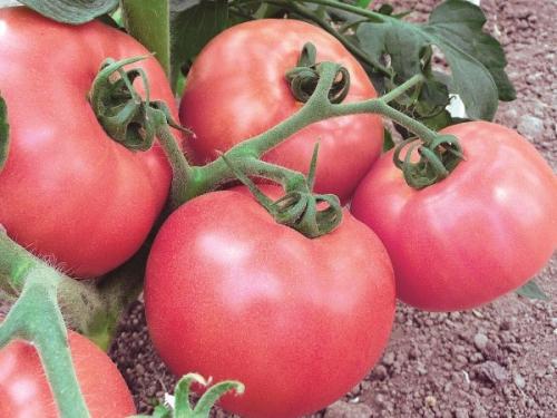Салатные помидоры