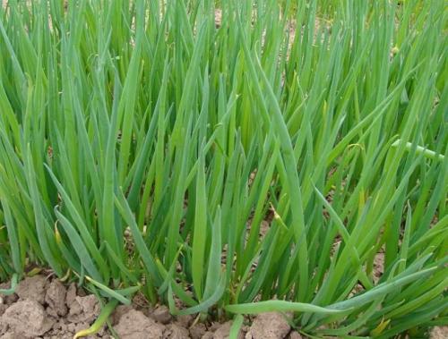 Растущий зеленый лук