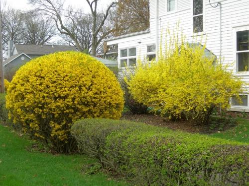 Цветущая форзиция в саду
