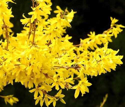 Цветки форзиции в открытом грунте