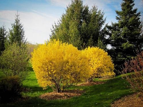 Куст цветущей форзиции в открытом грунте