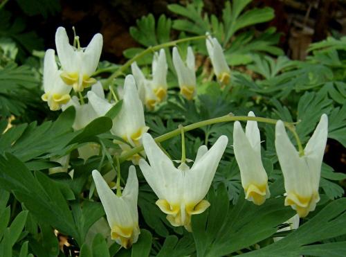 Белые цветки дицентры