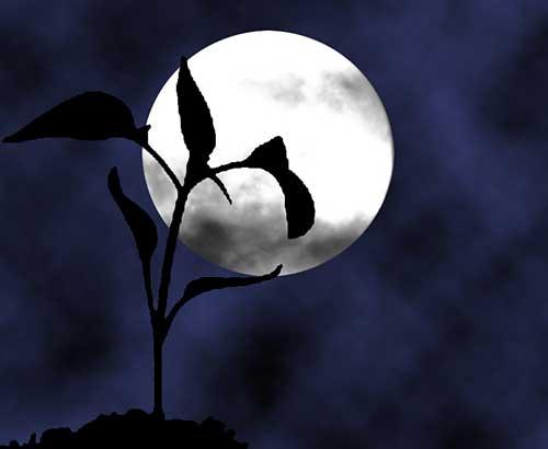 Луна и рассада растения в открытом грунте