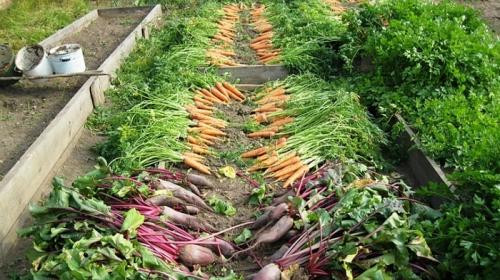Урожай, собранный по лунному календарю