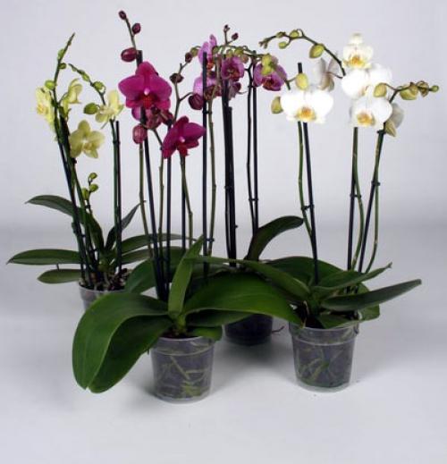 Разноцветные орхидеи фаленопсис