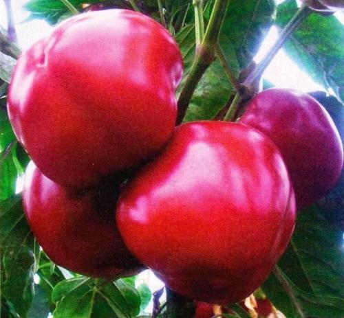 Плоды перца на кусте