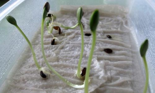 проращивание рассады в бумаге