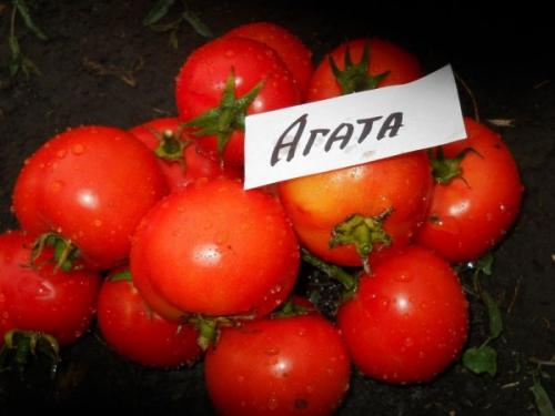 Сорт помидоров для Башкирии Агата