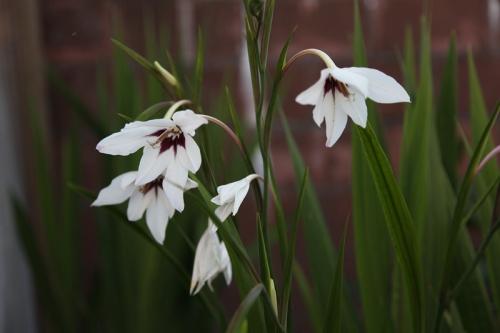 Цветы ацидантеры в открытом грунте