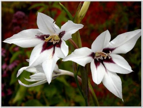 Белые цветки ацидантеры в открытом грунте