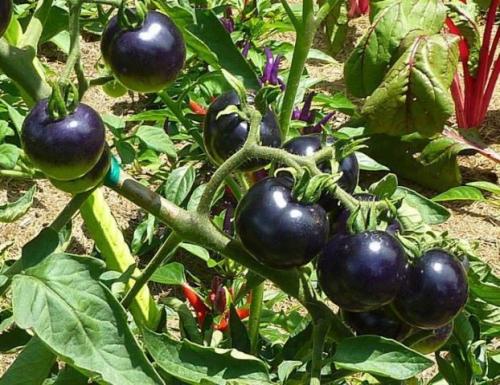 Черные помидоры в открытом грунте