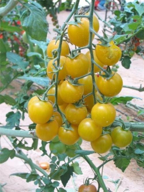 Желтые помидоры в огороде