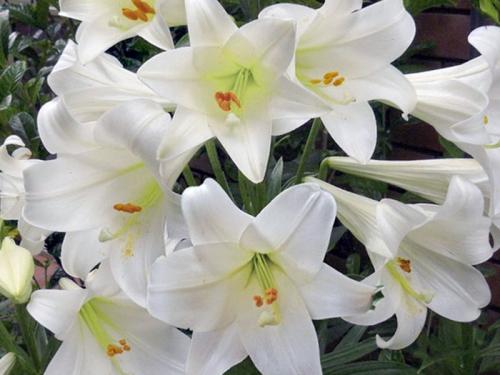 Лилия белого цвета