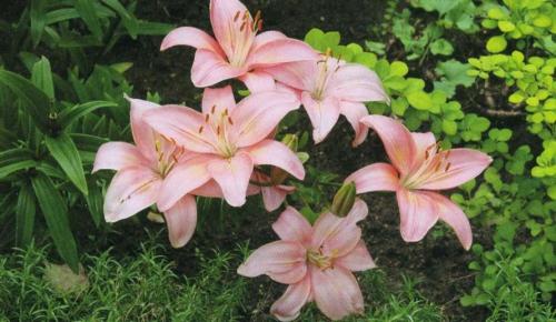 Розовые лилии в саду