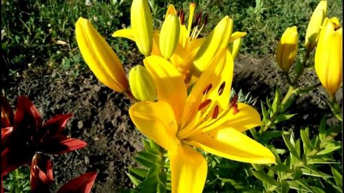 Ярко-жёлтые садовые лилии