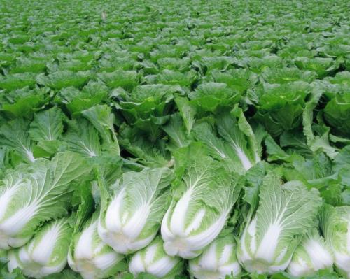 Урожай пекинской капусты
