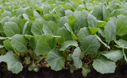 Высаженные ростки капусты