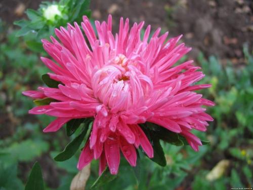 Астра ярко-розового цвета