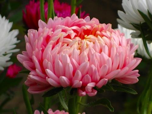 Розовая астра в грунте