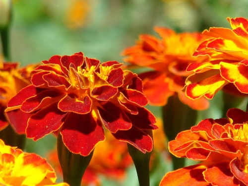 Бархатцы в цвету