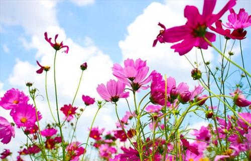 Ярко-розовая космея
