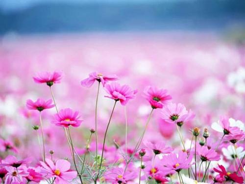 Светло-розовая космея в поле
