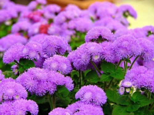 Цветы агератума в открытом грунте
