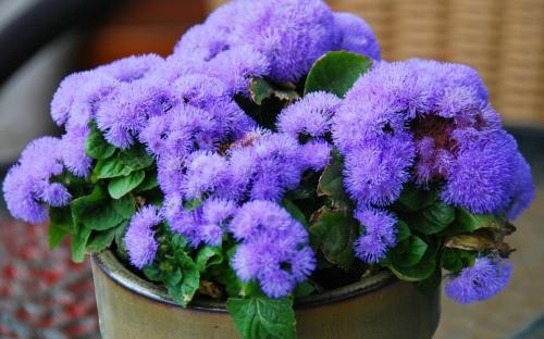 Фиолетовые цветки агератума, видео