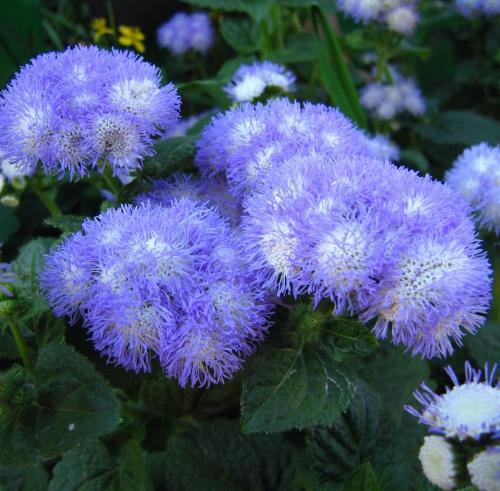 Фиолетовые цветки агератума в открытом грунте