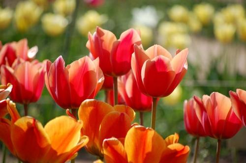 Красные и оранжевые тюльпаны