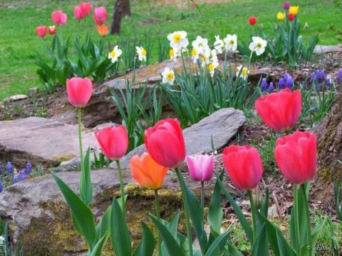 Тюльпаны на фоне камней