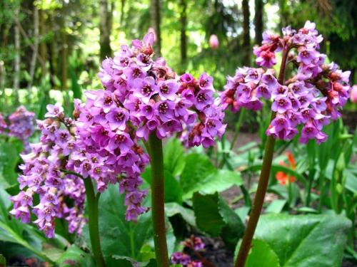 Бадан фиолетового цвета в саду