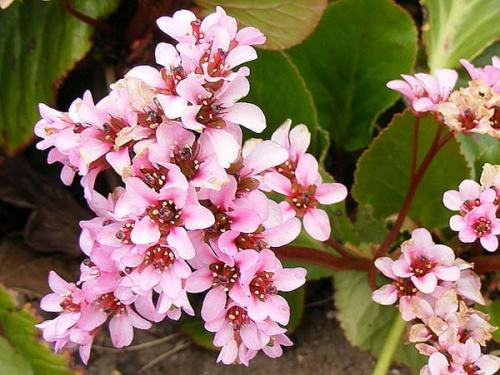Розовые цветки бадана